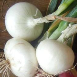 Cipolla bianca2,5€/kg