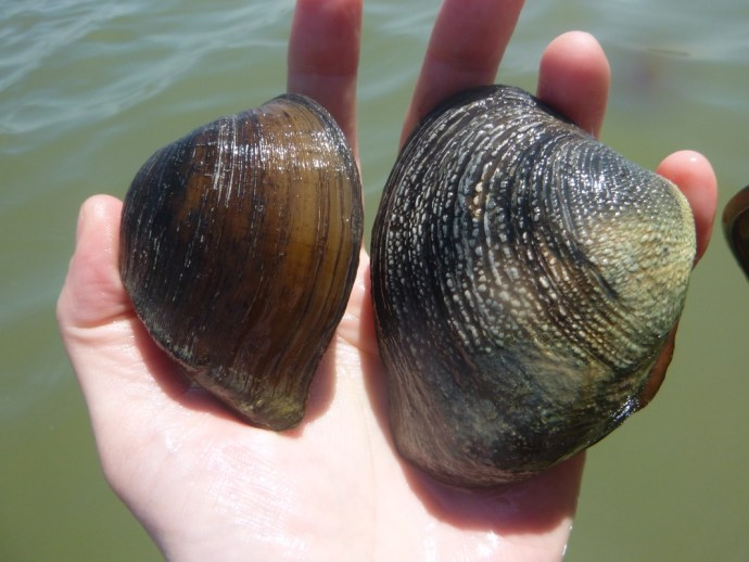 Mesoamerican freshwater mussels