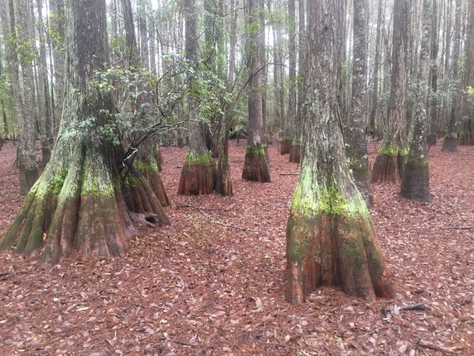 Cypress trees at the Jones Center in south Georgia