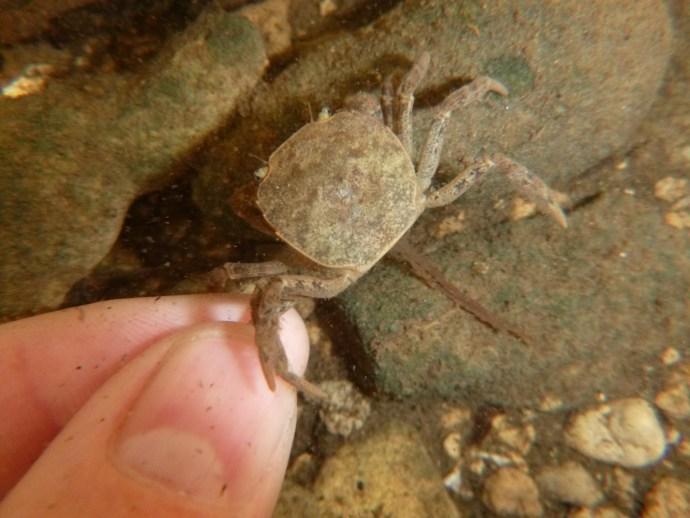 Crab in Chiapas stream
