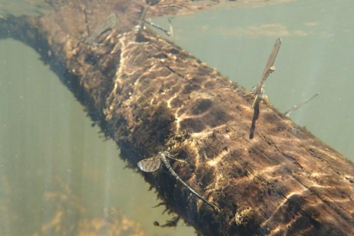 Damselflies in the Ichawaynochaway Creek