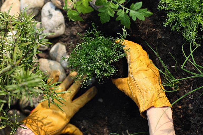 Chamomile plant in herb garden