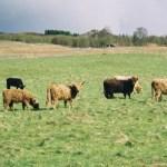 Highland Cattle at Loch Rannoch.
