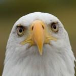 2013-08-18 Bald Eagle Raptors