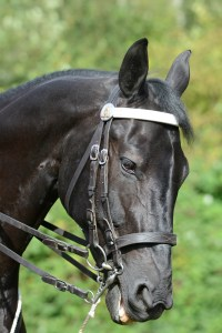 RCMP horse 2013 - Photo by Colin M Stevens