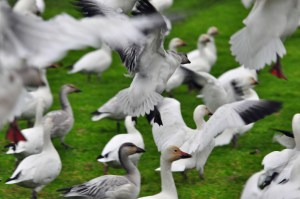 Snow Geese taking off, Richmond, B.C. Photo by Colin MacGregor Stevens.