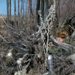 Side view of sniper hidden in brush. 1970 approx FNC1 or C1A1 w C1 scope sniper Training, Camp Ipperwash Ontario (L&AC MIKAN 4235659)
