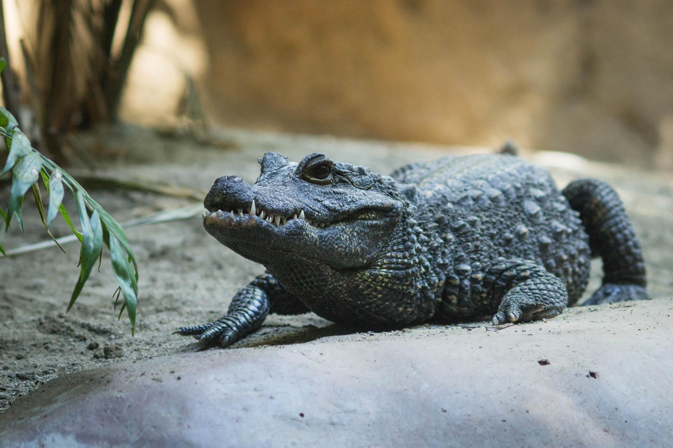 Un crocodile immobile observe toujours quelque chose ...