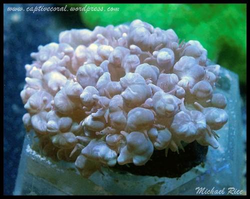 bubble_coral_DSC0148
