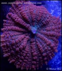 mushroom_coral_DSC8760