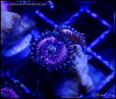 zoanthids2015-01-10 06.12.09