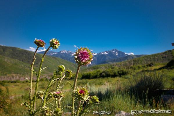 Timpanogos Alpine meadow