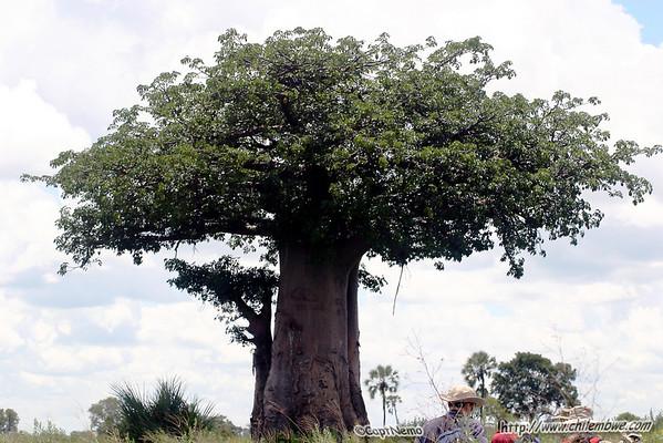 Baobob tree, Okavongo delta