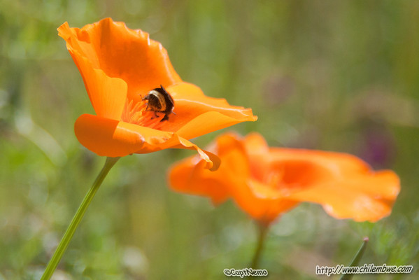 Bumblebee in the poppies