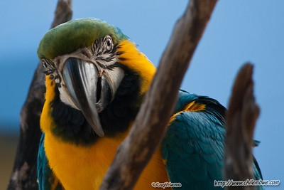 blue-gold macaw at the Sacramento zoo