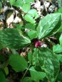 Apparently you cannot pick a trillium flower or it will not bloom again for 7 years