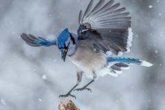 Blue Jay landing on