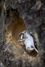 While exploring geologic features that were the result of a massive pre-historic earthquake, the discovery of a sheep skull in a wall cavity was made. Almost ceremonial, the contrast in elemental material as well as timescale was intriguing