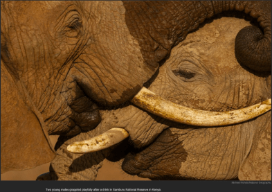 nytl_elephant_embrace