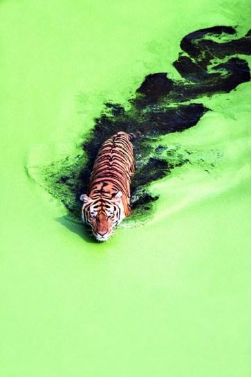 tiger_on_acid