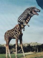 zebra_girafe_ladder