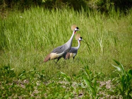 Cranes - Uganda's National Bird