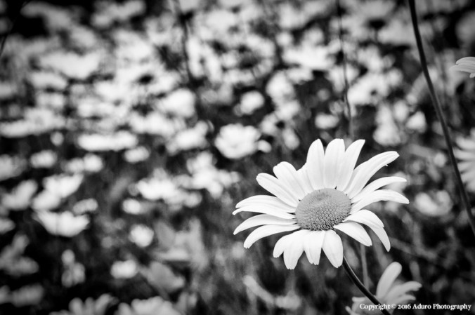 Daisies Copyright © 2016 Aduro Photography, All Rights Reserved