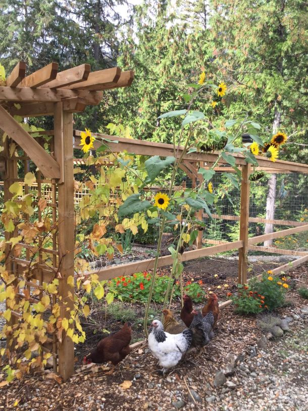 chicken-sunflower-pic