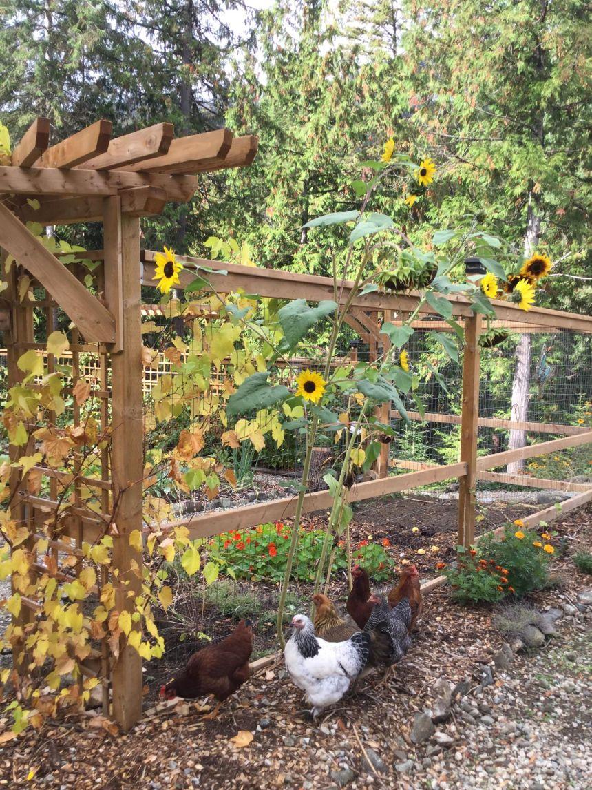 chicken-sunflower-pic