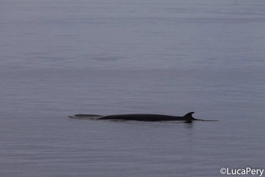 tadoussac, come vedere le balene