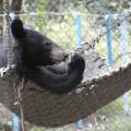 bear-in-hammock
