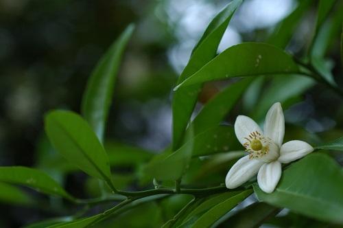 周防大島みかんの花の時期
