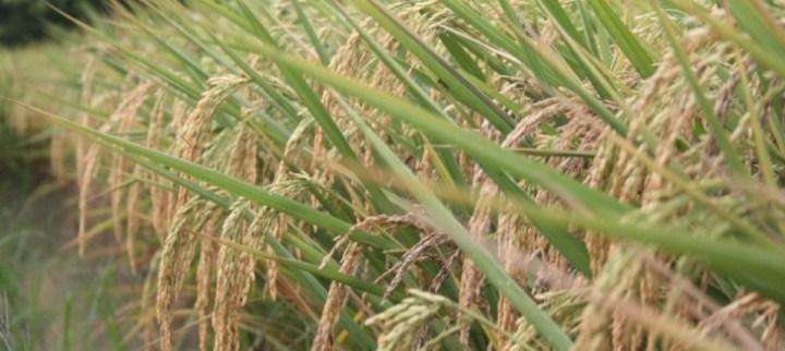sawah beras organik