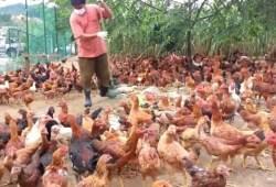 Peluang Usaha Peternakan Ayam
