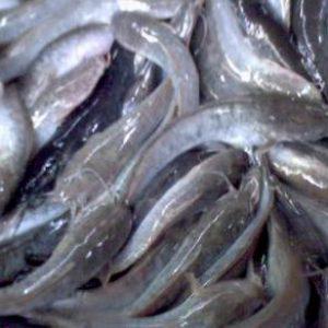 Peluang Bisnis ikan lele