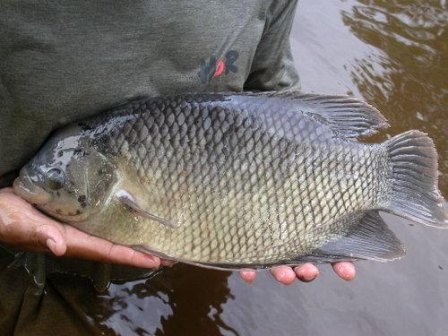 Ternak Ikan Modal Kecil