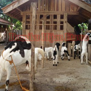 bisnis ternak kambing