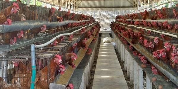 Beternak Ayam