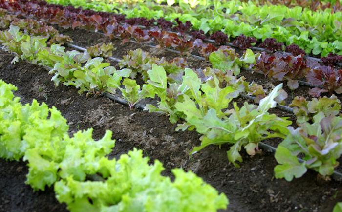 Kebun Sayuran Organik