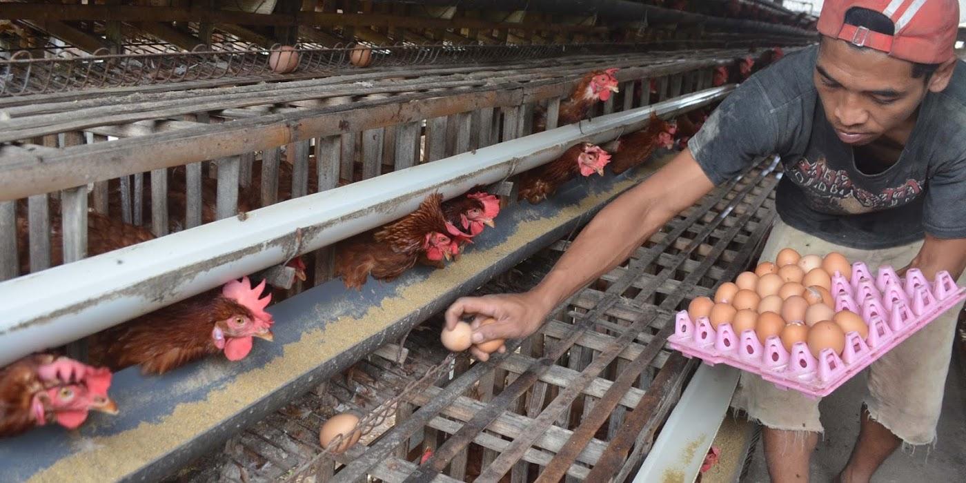 4 Rincian Modal Bisnis Ayam Petelur dan Estimasi Pendapatan