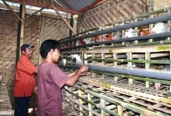 Cara Bisnis Ayam Petelur Tanpa Modal Khusus Peternak Profesional