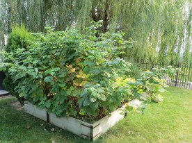 Raspberry canes in raised bed, Fall - Skimmerhorn Winery, Creston, B.C.