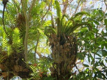 Large Staghorn ferns flourish growing on trees