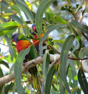 Noisy lorikeets are found throughout Australia