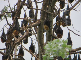 Flying foxes during day
