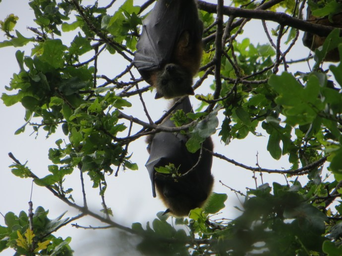 Flying Foxes Bairnsdale