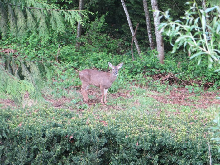 The deer who used to visit the garden can no longer jump over the hedge