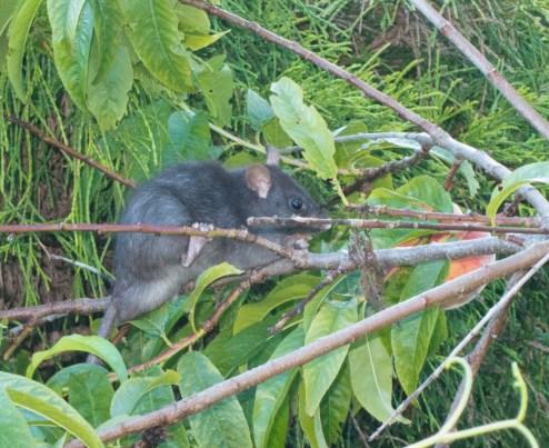 Rat in peach tree
