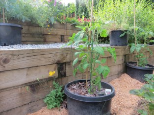 Tomatoes in containers