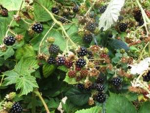 Ripe berries for the picking
